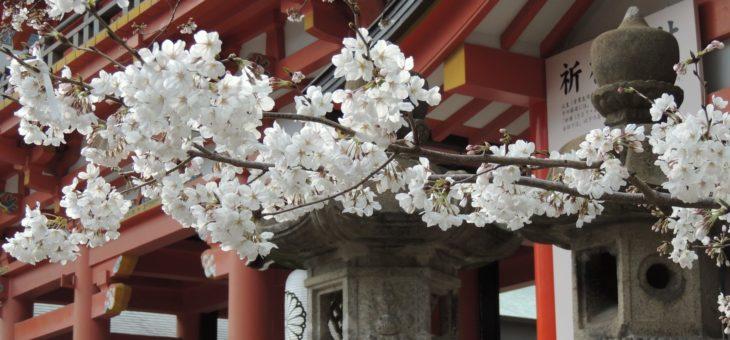 Come fiori di ciliegio destinati a cadere. Simbologia del sakura nella cultura giapponese.